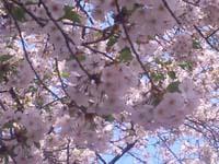 さくら(4月14日ブログ).jpg